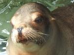 Wie heisst der Seelöwenbulle?