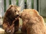 Wie viele Kodiakbären gibt es in dem Zoo?
