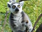 Wie heissen die Tiere, die zur Familie der Kattas gehören? Sie stammen aus Madagaskar.