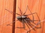 In deiner Wohnung haust eine Spinne.
