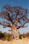 Welcher in Afrika gedeihende Baum vermag in seinem Stamm mehr als 500 Badewannen Wasser zu speichern?