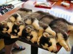 Sind Huskys als Wachhunde geeignet?