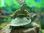 Wasserschildkröten müssen in einem Aquarium mit Land gehalten werden. Auch wenn sie Wasserschildkröten genannt werden, heißt das nicht, dass sie a