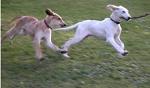 Jeder Hund, egal welche Rasse, benötigt viel Auslauf. Besonders große Hunde leiden, wenn sie nicht genug Auslauf bekommen.