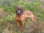 Zu den größten Hunden der Welt gehören: Großpudel, Chihuahua und auch der Hannoversche Schweißhund.