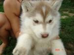 Der Sibirien-Husky ist ein Schlittenhund.