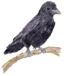 Kolkrabe oder doch eher Elster - Welcher Rabenvogeltyp bist du?