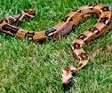Aus welchem Land kommt die Schlange?