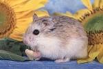 Robos sind die kleinsten Hamster der Welt.