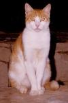 Wie lautet lateinische Bezeichnung der Katze?