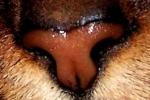 """Wie heißt die zusätzliche """"Duftvermittlungszentrale"""" welche es einer Katze ermöglicht mittels so genanntem Flehmen Pheromone wahrzunehmen?"""