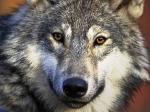 Was haben Wölfe an der Rute, was Hunde nicht haben?