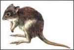 Welche Eigenheit hat das Rattenkänguru in Kalifornien?