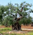 Welcher Baum trägt nur alle zwei Jahre Früchte?