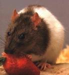 Ist deine Ratte männlich?