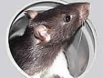 Mag dich deine Ratte?