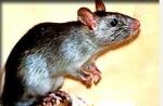 Hast du deine Ratte schon mal vernachlässigt, ihr etwas Böses getan oder sie maßlos enttäuscht?