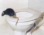 """Wenn """"JA"""": Mag die Ratte die anderen Tiere?"""