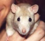 Isst deine Ratte gerne Fleisch?