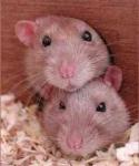 Tut deine Ratte sonst bösartige Sachen?