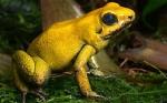 Wie heißt der abgebildete Frosch?