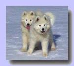 Welche Hunde Sind als Schlittenhunde geeignet?