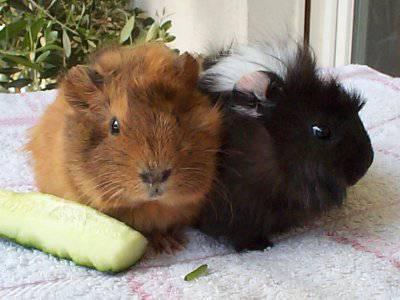 meerschweinchen gl cklich und gesund. Black Bedroom Furniture Sets. Home Design Ideas