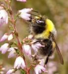 Wie nennt man eine männliche Biene?