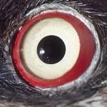 Welches Tier hat mit einem Durchmesser von bis zu 40cm! die größten Augen?