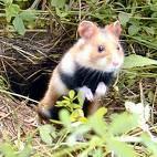 Wie viel kann der Feldhamster hamstern?
