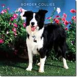Das hundische Border-Collie-Quiz