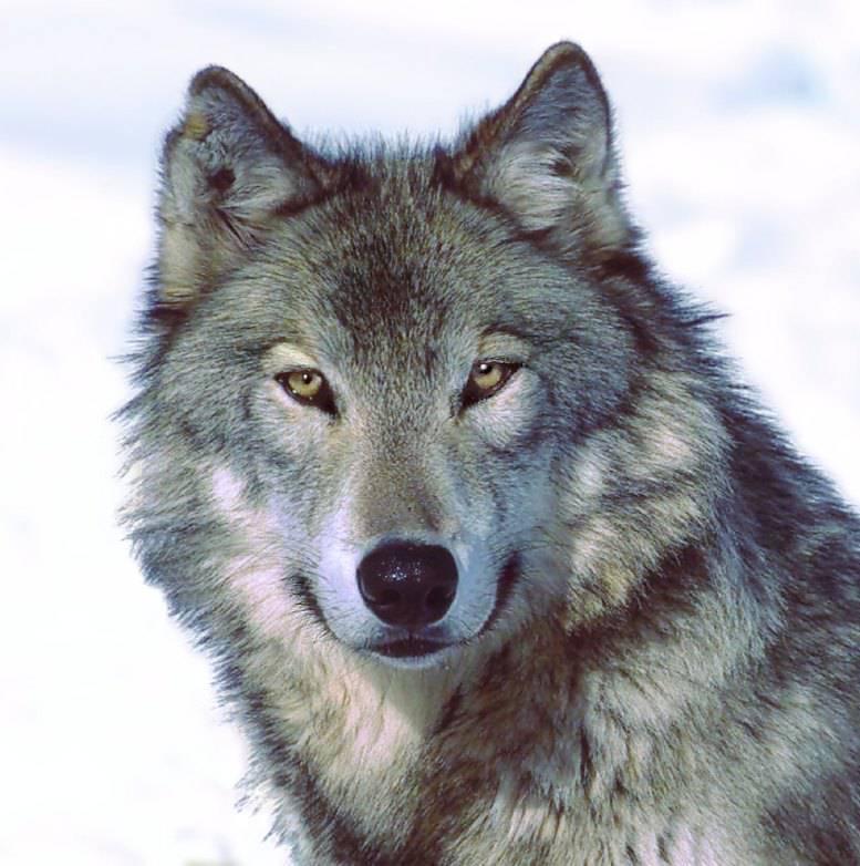 Teste Dich Wolf