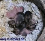 Ab dem 10. Tag nach der Geburt sind die Augen eines Hamsters geöffnet.