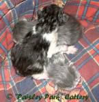 Welche Katzenrasse hat blaue Augen, farbiges Fell und eine weiße Schwanzspitze?