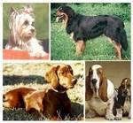 Wie viele Hunderassen gibt es ungefähr auf der Welt?