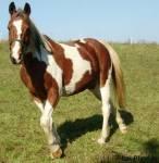 Welche dieser Pferderassen gibt es nicht?