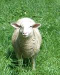 Wie hieß das Schaf, das einst Henry auf Schritt und Tritt folgte?