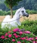 Welche Pferderasse ist am engsten mit dem Araber verwandt?