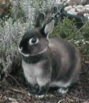 Zwergkaninchen sind nicht nur beliebte Haustiere in Europa, sondern auch eine...