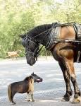 Schön, zur Einleitung fange ich für einen echten Crack mal leicht an. Was ist die kleinste Pferderasse der Welt?