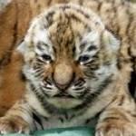 Wie gut kennst du dich mit Tigern aus?