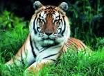 Wie lang ist der Schwanz eines Tigers?