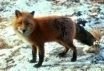 Was bist du? Fuchs oder Katze?