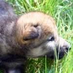 Beginnen wir unsere Reise mit einem kleinen Wolfswelpen. Er ist gerade zur Welt gekommen und liegt mit seinen Geschwistern am wärmenden Fell der Mutt