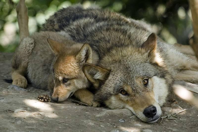 Welcher Wolf Bist Du