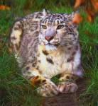 An deinem 17. Geburtstag vor zwei Jahren bekamst du eine Eru-Leopardin geschenkt. Wie die meisten der haradischen Tierarten sind auch diese Raubkatzen