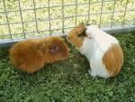 Hat dein Schweinchen einen Artgenossen?