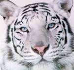 Das große Tigerquiz