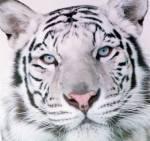 Was ist ein Tiger?