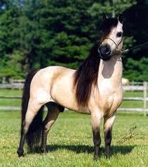 Die Kleinste Pferderasse Der Welt